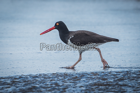 american oystercatcher in shallow water on