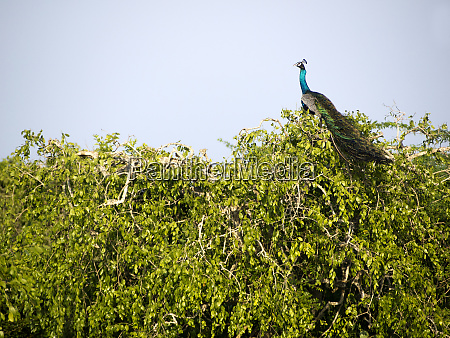 peacock sitting on a tree at