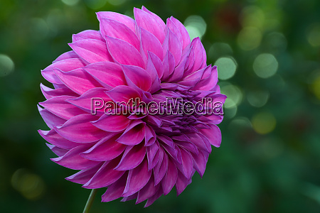 beautiful purple dahlia flower