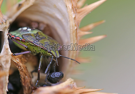 rice bug nezara viridula with a