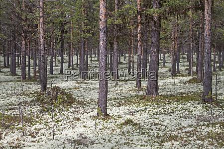 real reindeer lichen