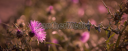 thistle flowers field close
