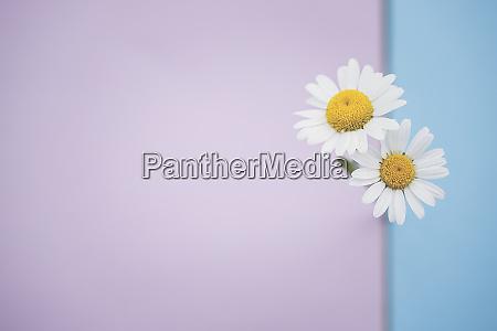 daisies flowers on blue wood