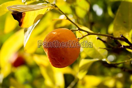 a ripe orange on an orange