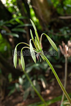 rare crinum thaianum or water lily