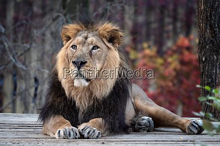 asiatic lion panthera leo persica a