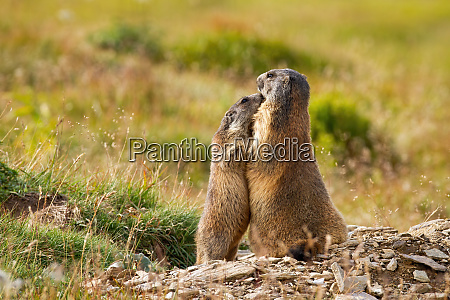 alpine, marmots, hugging, and, touching, with - 28175140