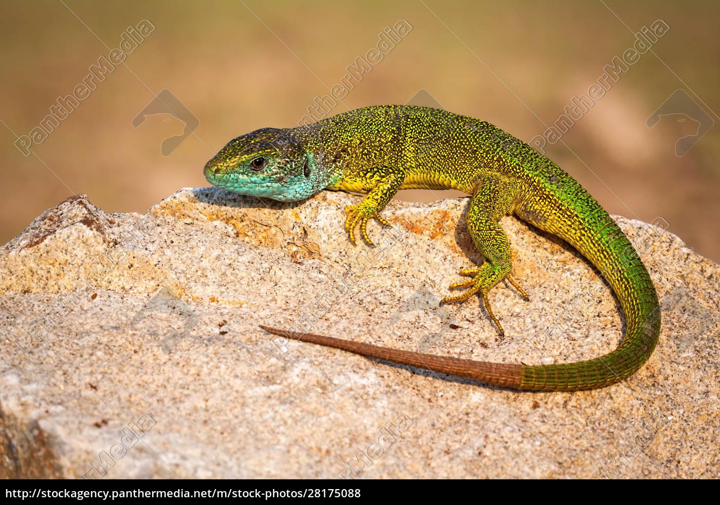 full, frame, of, european, green, lizard - 28175088