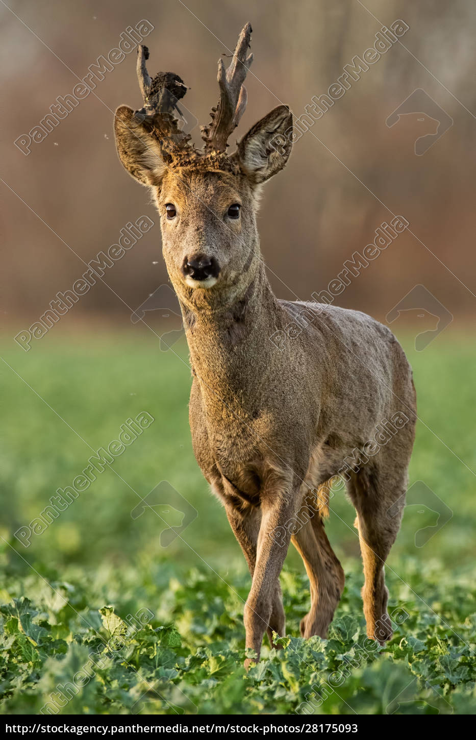 roe, deer, stag, at, sunset, with - 28175093