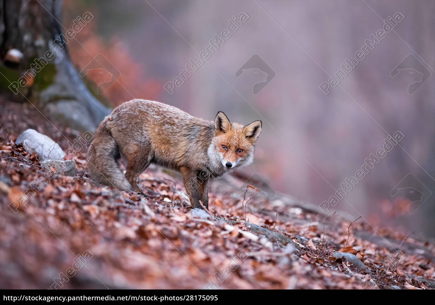 shy, red, fox, with, her, tail - 28175095