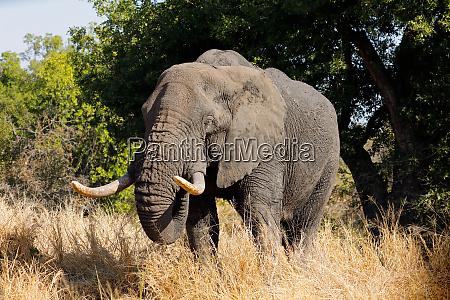 african bull elephant kruger national