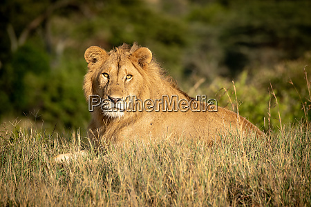 male lion lies in grass watching