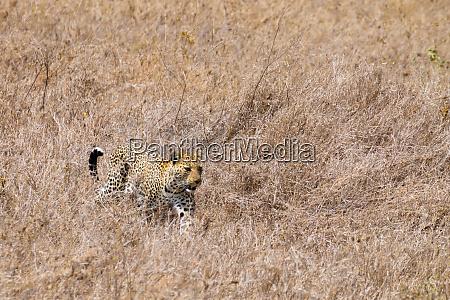 leopard from serengeti national park tanzania