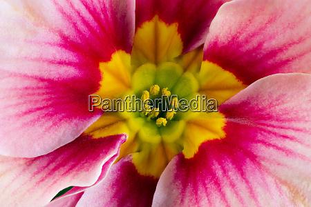 pink primrose flower blossom