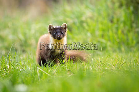 cute pine marten from front view
