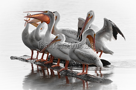 white pelicans gathered on a log