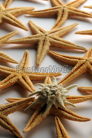 starfish and edelweiss on white background