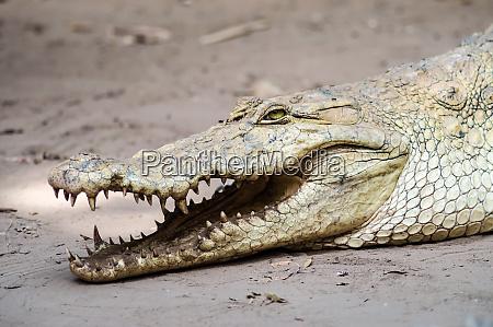 a crocodile basks in the heat