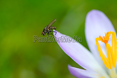 fly at a purple crocus flower