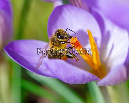 bee at a purple crocus flower