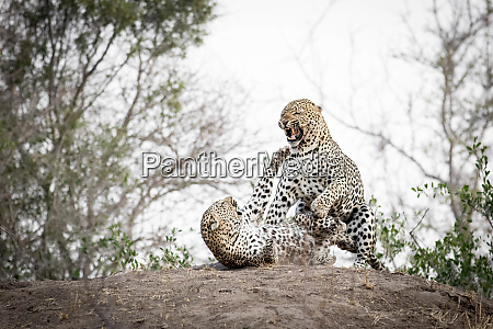 a mating pair of leopards panthera
