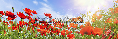 red poppy flowers on sunny blue
