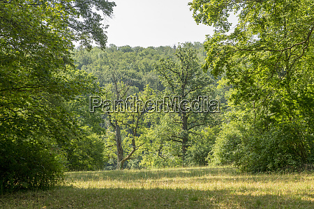 forest clearing with oak trees and