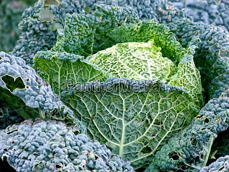 savoy cabbage in the field just