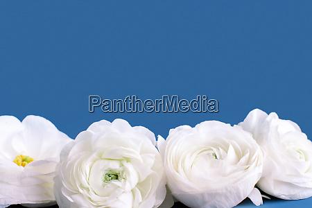 cream ranunculus flowers on a blue