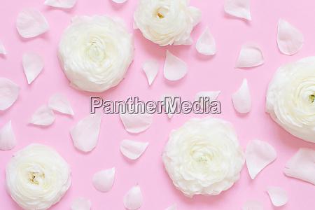 cream ranunculus flowers and petals on