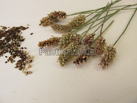 ribwort plantain inflorescences and edible seeds