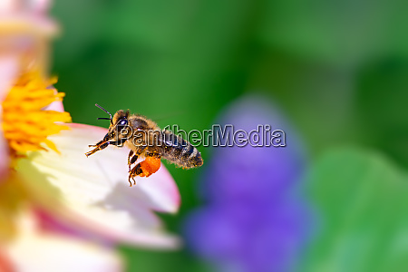 bee flying to a pink flower