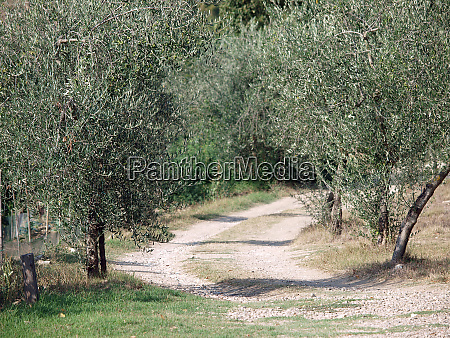 olive fields in chianti tuscany