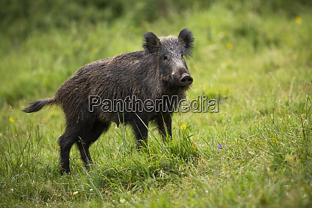 alert wild boar listening on green