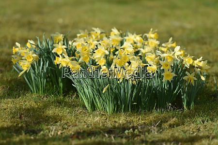 maerzenbecher narzisse daffodil daffodils