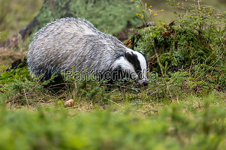 european badger in the forest