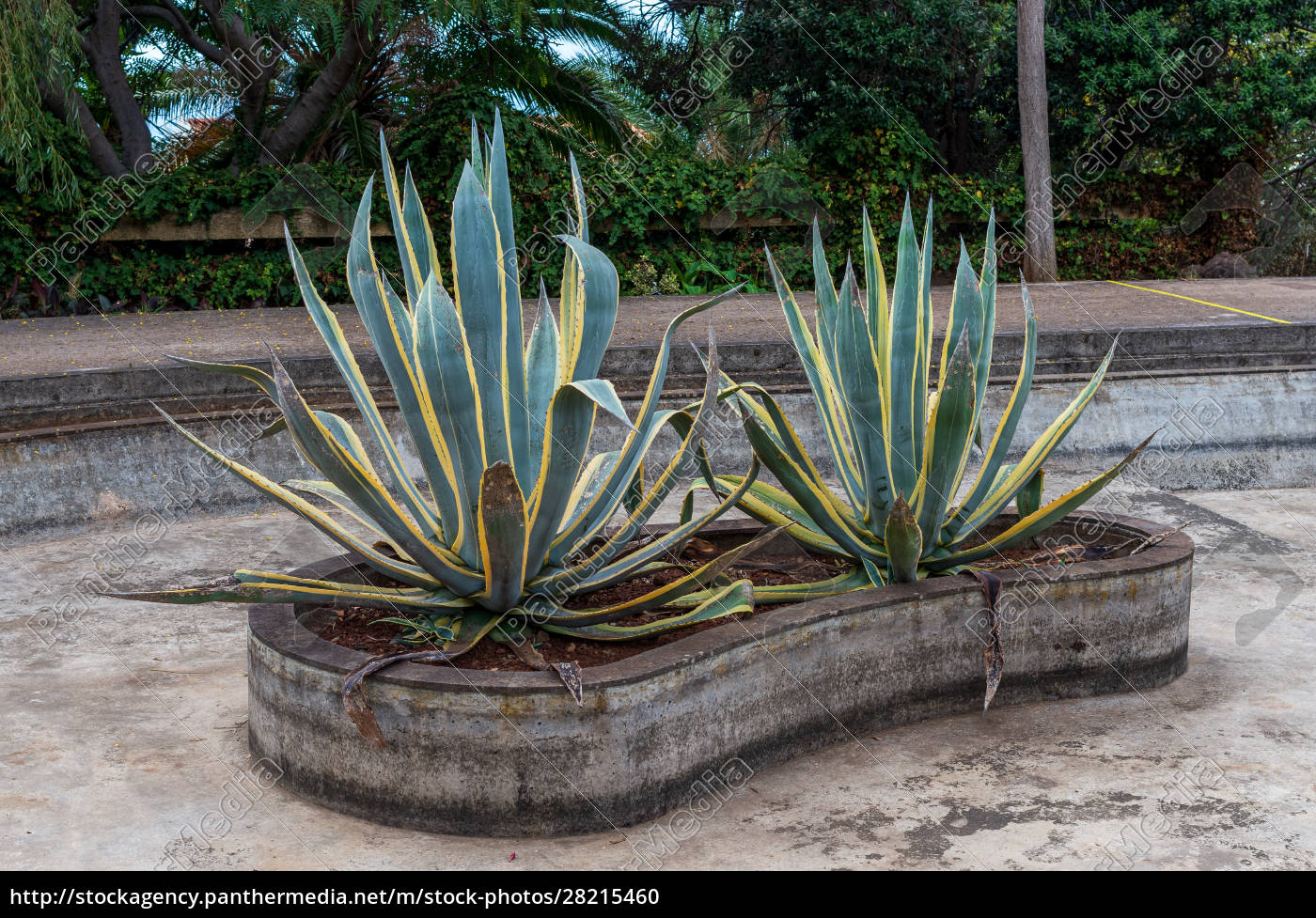 growing, agave, in, decorative, pool - 28215460