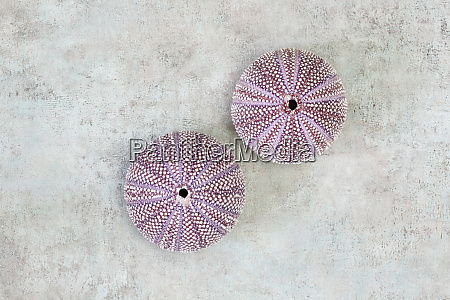 sea, urchin, shell, flat, lay - 28215396