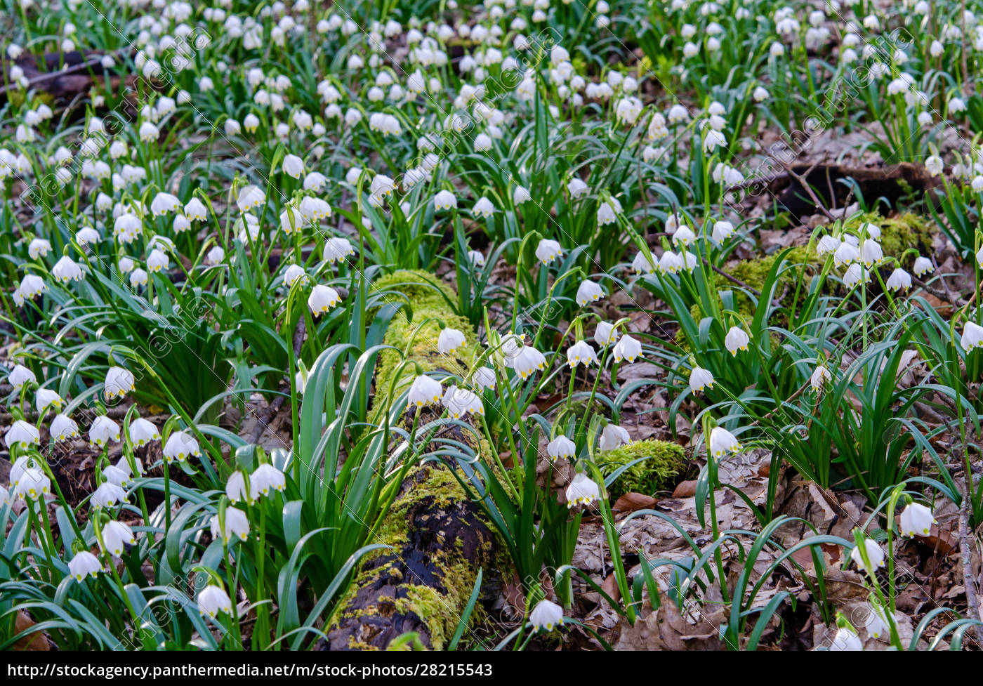 spring, knot, flower, in, the, forest - 28215543