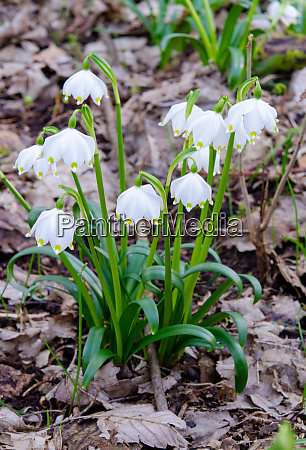 spring, knot, flower, in, the, forest - 28215547