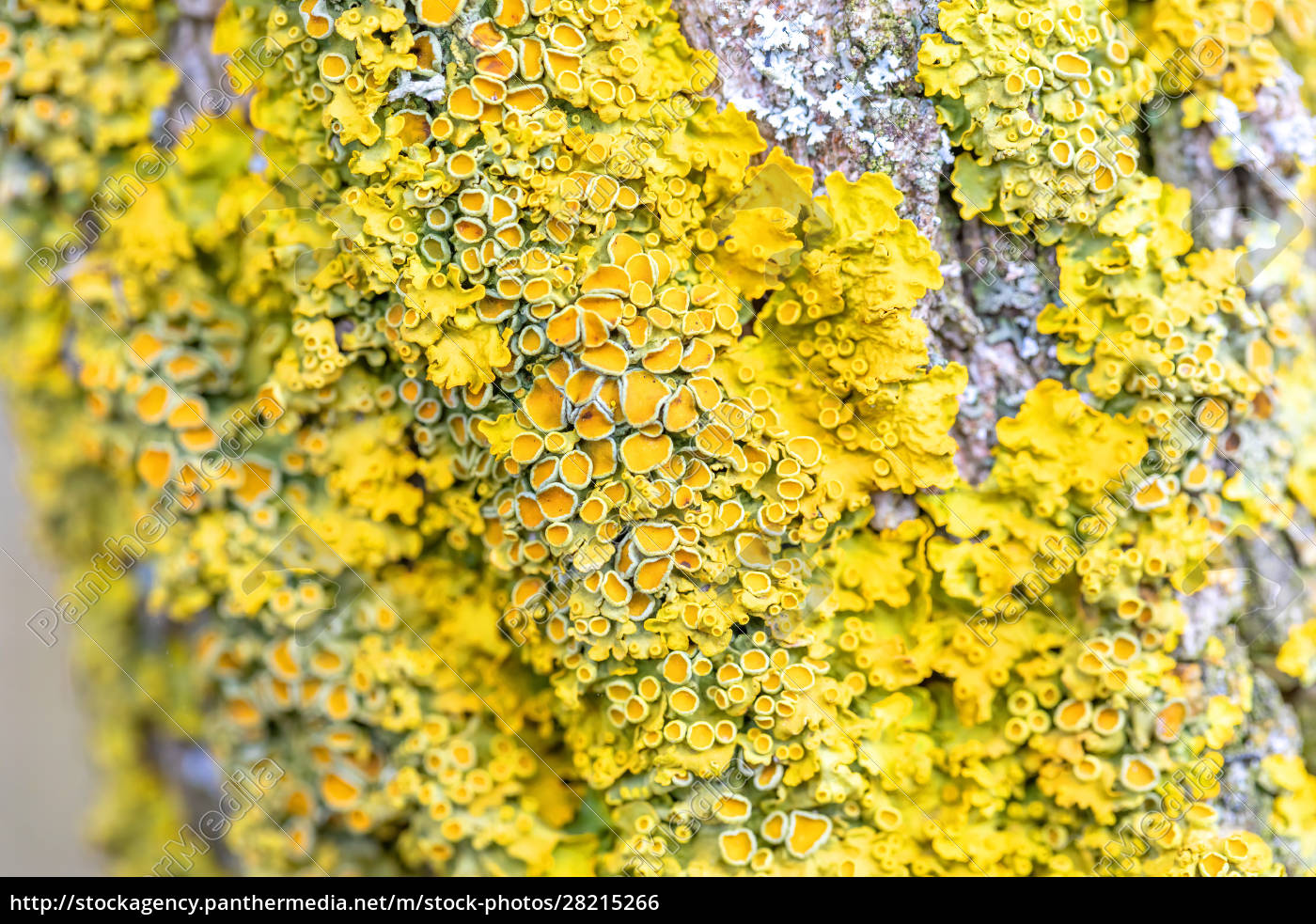 yellow, parasitic, fungus, on, twig, in - 28215266