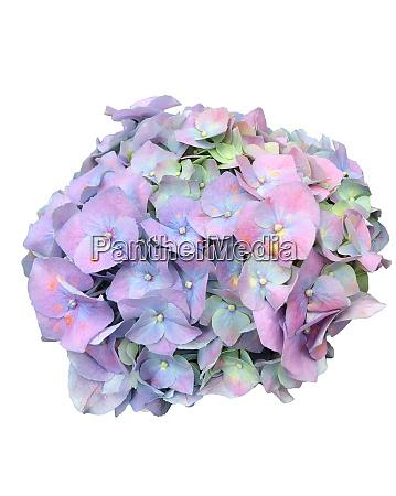 hydrangea inflorescence of purple blue flowers