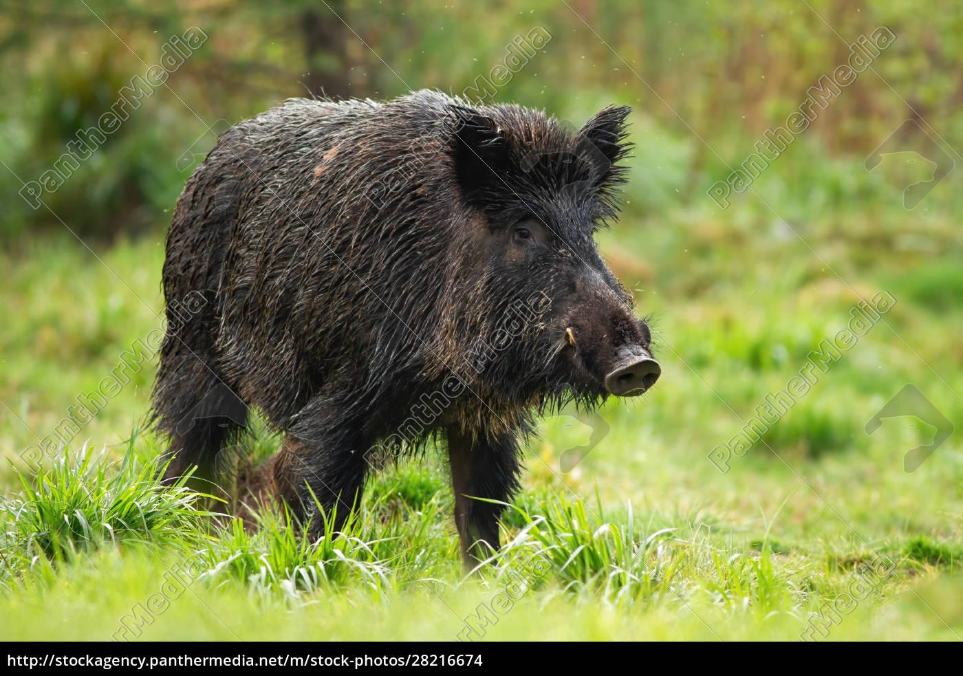 dangerous, wild, boar, male, with, white - 28216674