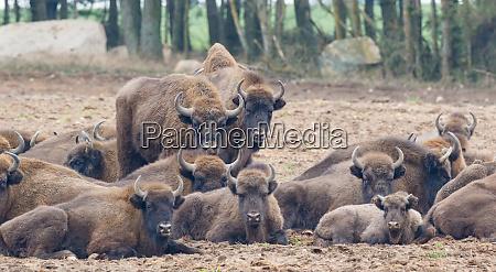 european, bison, (bison, bonasus), herd, resting - 28216212