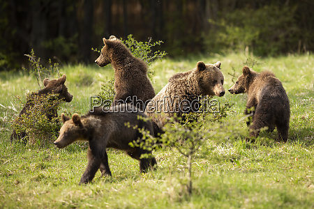 family, of, brown, bears, with, adult - 28216808