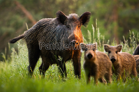 family, of, wild, boars, with, young - 28216740