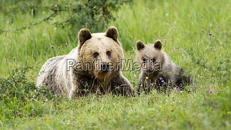 female, brown, bear, lying, on, the - 28216852