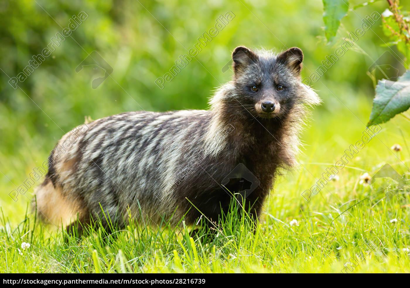 horizontal, composition, of, wild, raccoon, dog, - 28216739