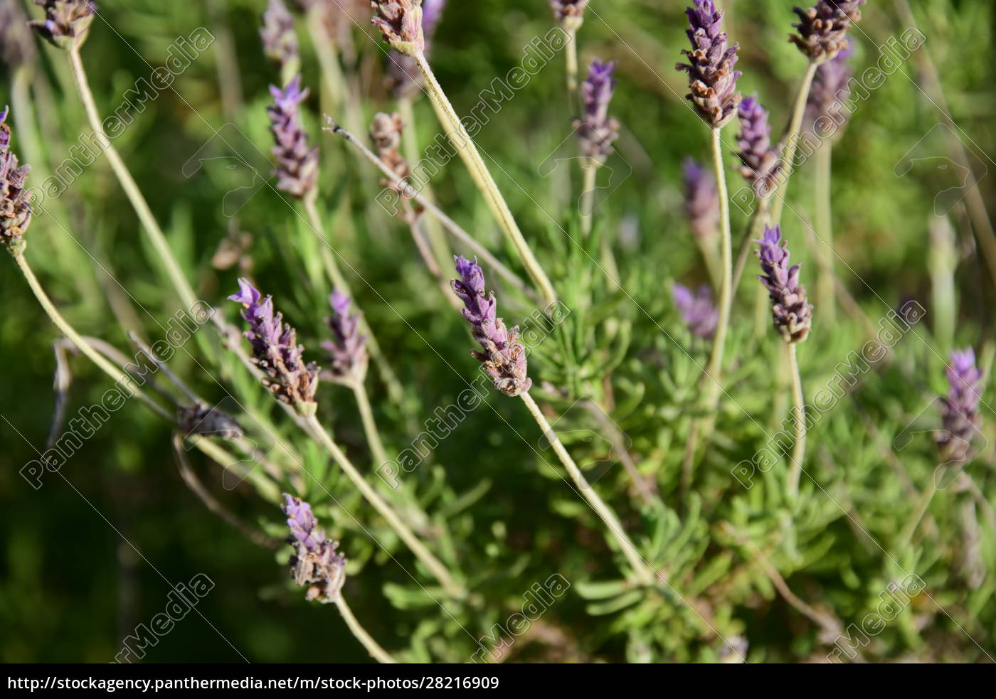purple, lavender, flower, in, the, province - 28216909