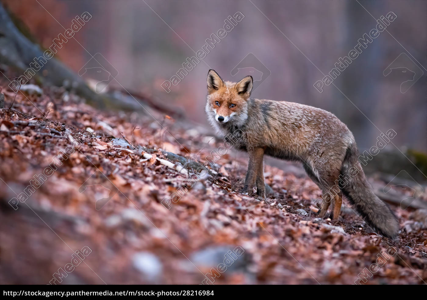 red, fox, with, beautiful, long, puffy - 28216984